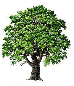 Le piante del bosco comune san stino for Pianta della foresta di pioppo